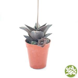 "HAWORTHIA Tessellata Mini 1.75"" pot #3702"